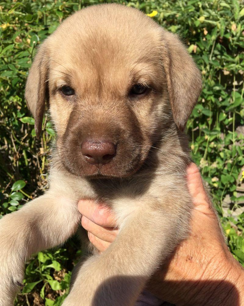 California labradors retrievers more rescue san diego