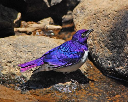 Violet-backed Starling Stuns with its Amethyst Feathers. Photo: Don Hoechlin