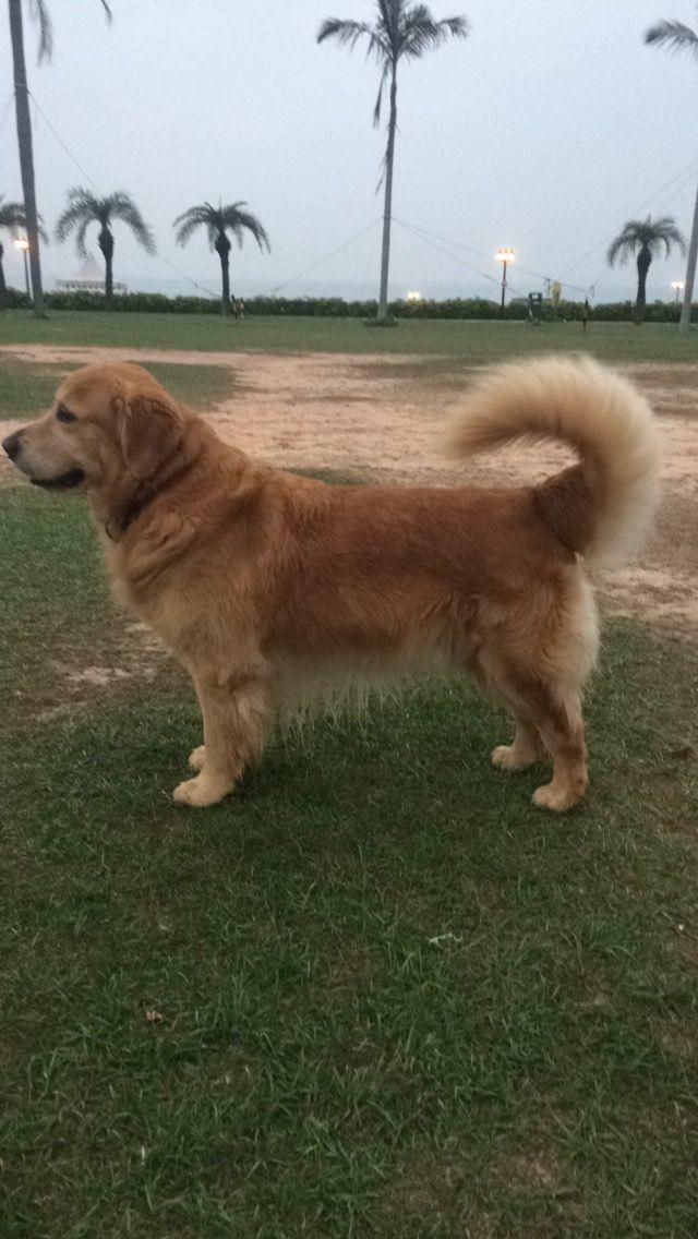 Brandon Golden Retriever Pawshake Hong Kong Dogs Animals Canada