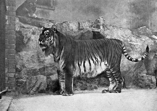 Pin By Gamusino On Animales Extintos Extinct Animals Extinct And Endangered Animals Caspian Tiger