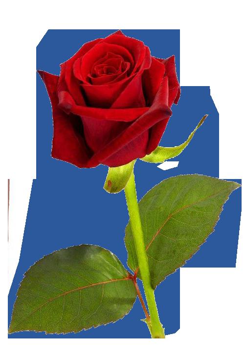 Single red Rose transparent image Screenshots Single