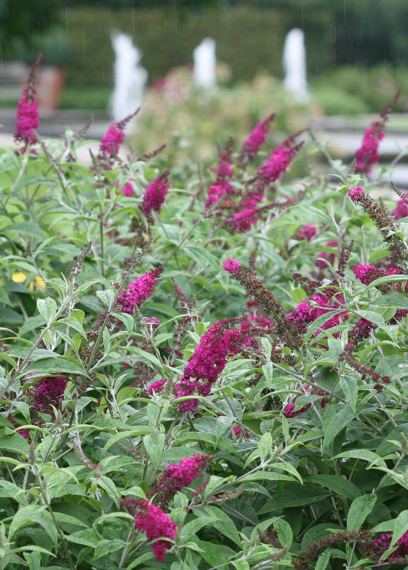Mine Is White Butterfly Bush Buddleia Plant Purple Plants