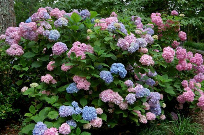 gartenpflanzen hortensie Bauernhortensie in verschiedenen farben - gartenpflanzen