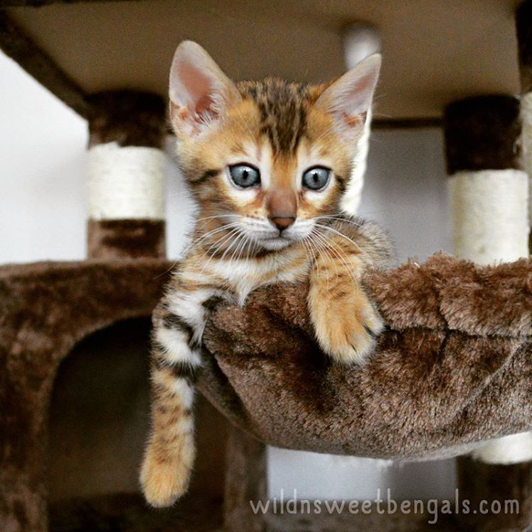 Bengal Kittens Cats For Sale Near Me Wild Sweet Bengals Bengal Kitten Bengal Cat Kitten Bengal Cat
