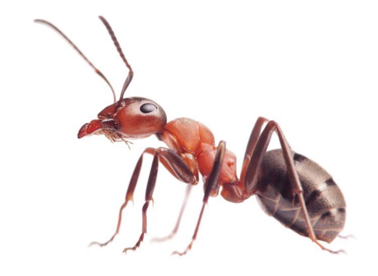 Pin By Suzanne Auger On Le Arthropods Ant Pest Control Ants Insects