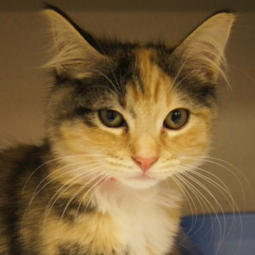 Adopted Cher Is A 4 Month Old Female With Calico Torbie Marking Domestic Medium Hair Kitten Cher Is Beautiful And Friendly She Dogs And Kids Lucky Dogs Cats