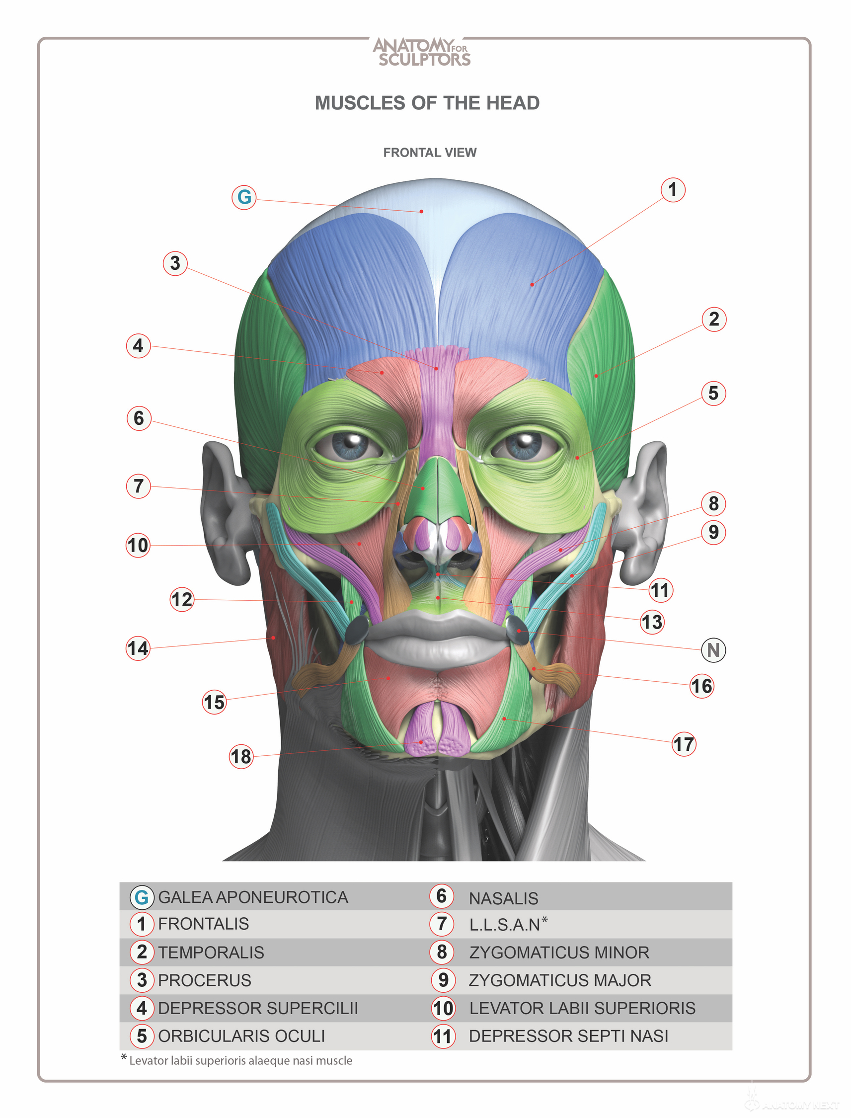 Head & Neck Anatomy book - MUSCLES - Estimated completion ...