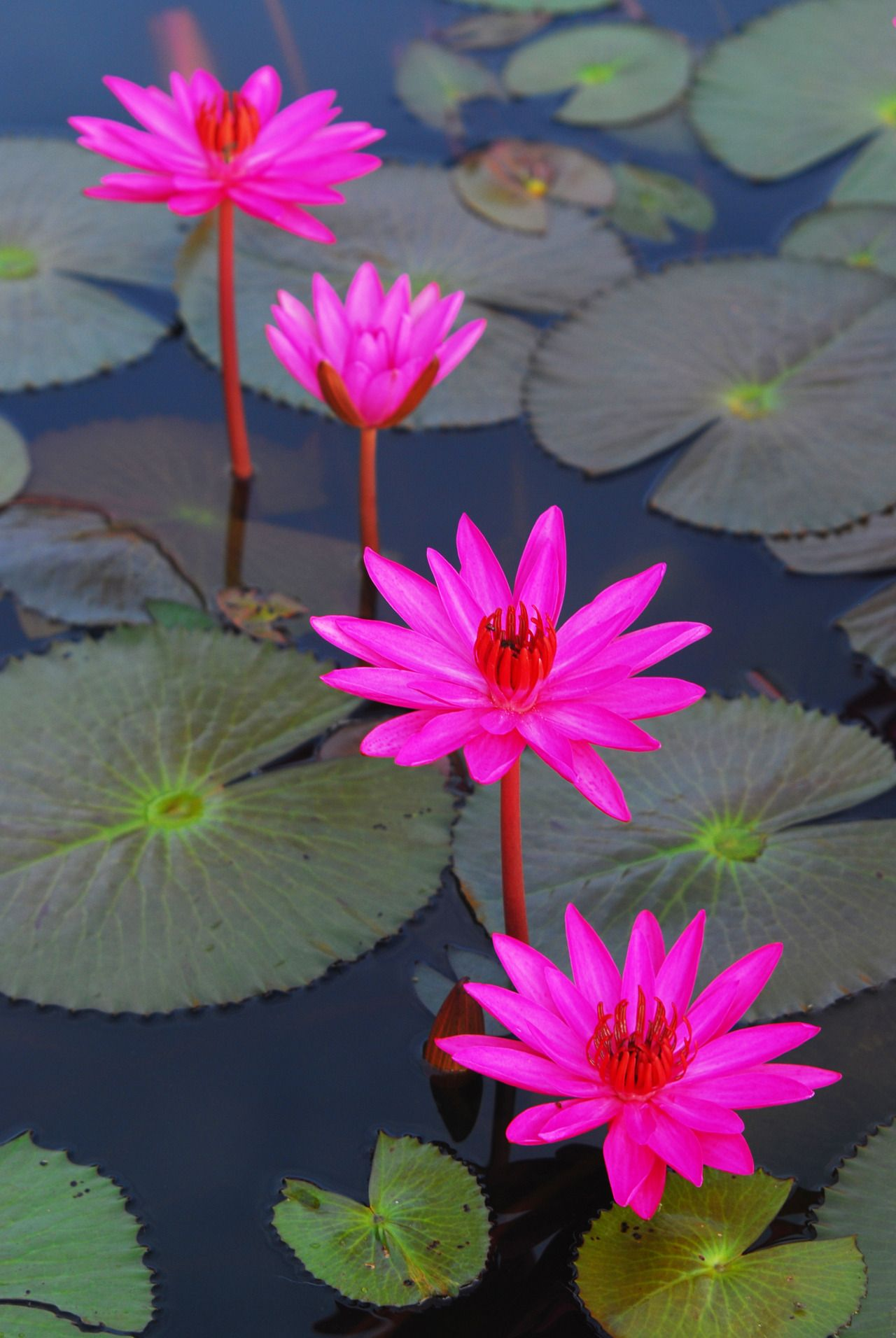 Bramphotography four pink lotus flowers allenamento for Pinterest fiori