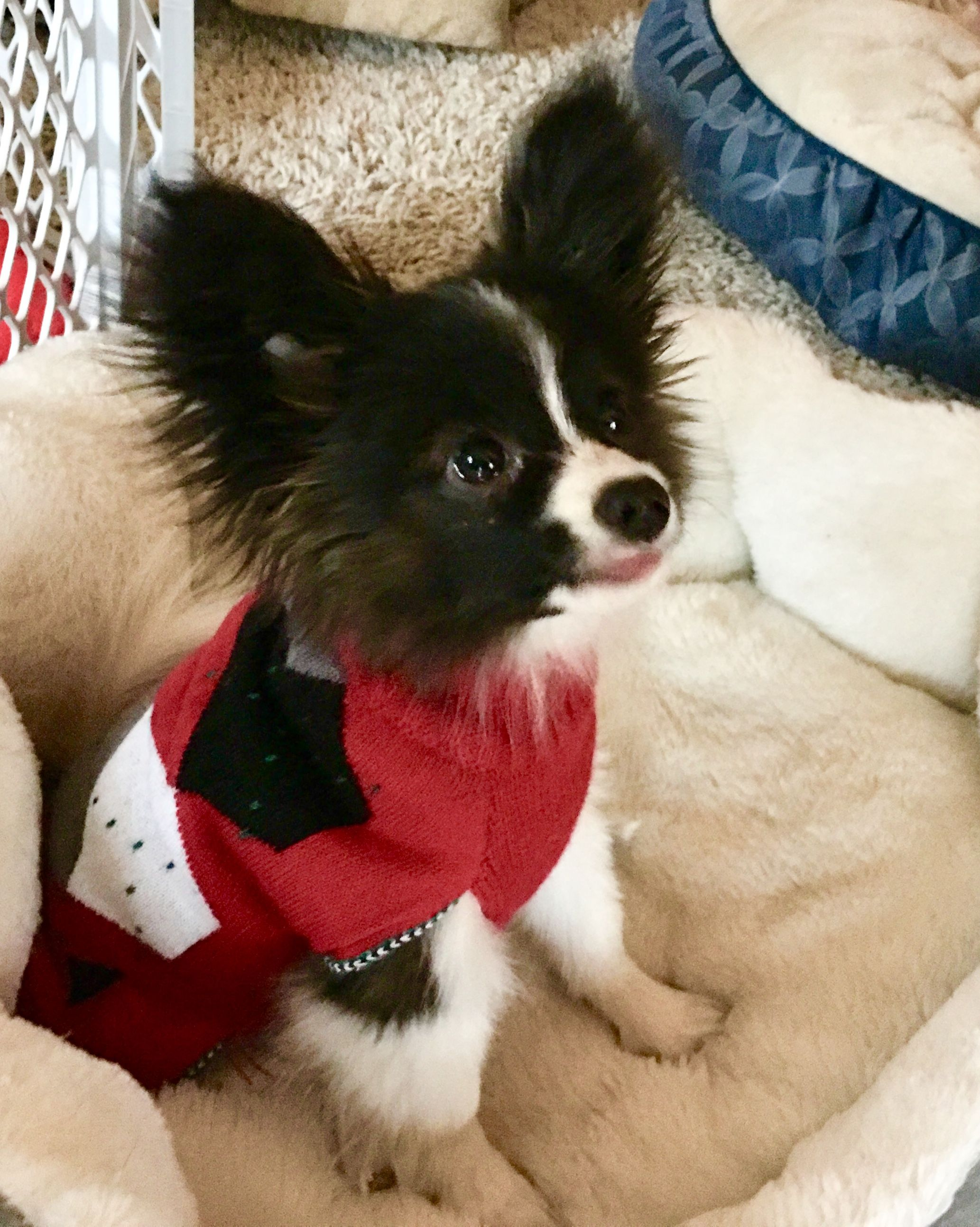 Pin by heide godin on papillons pinterest dogs puppies and pets