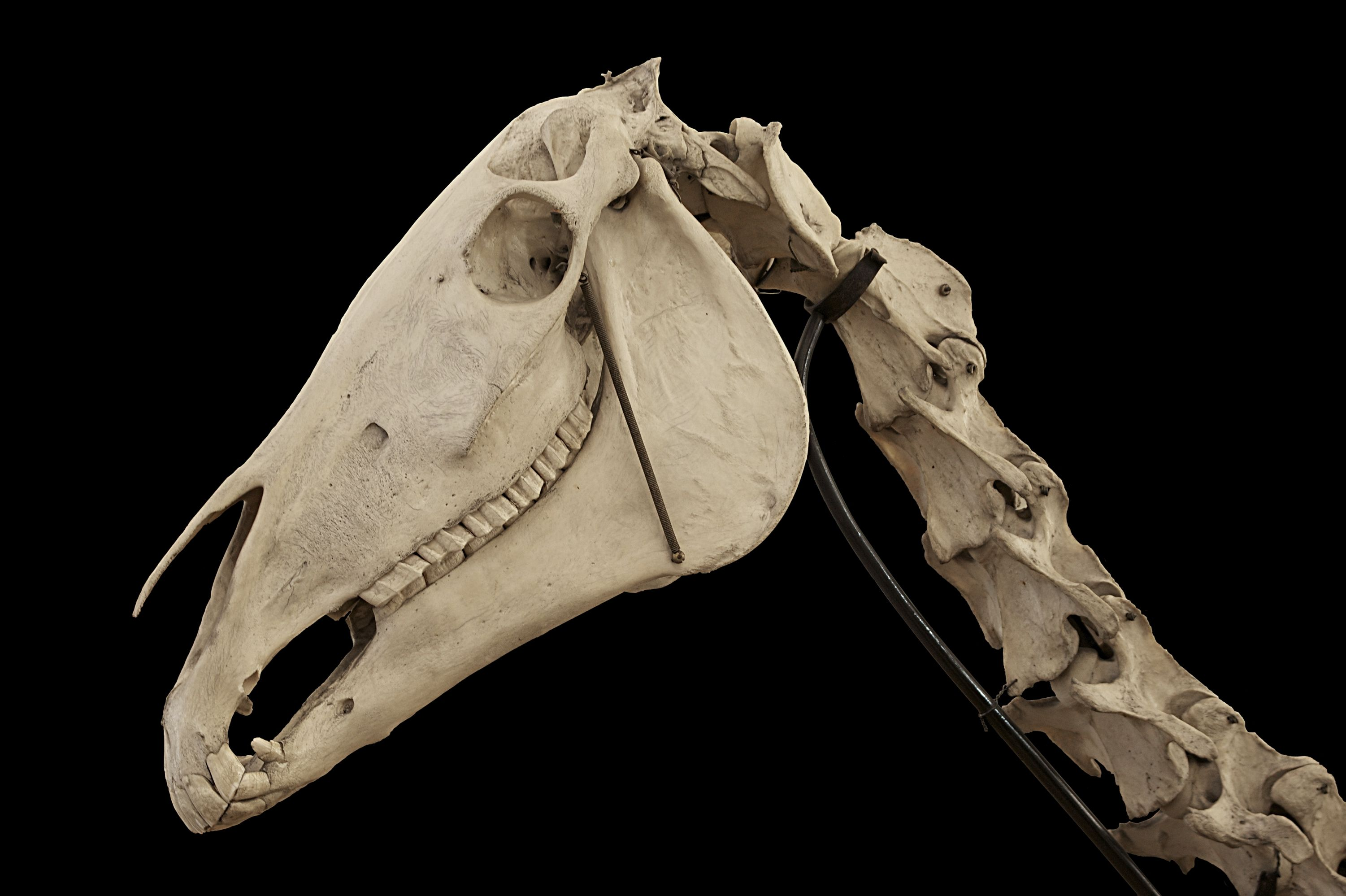 Pin By Jim T On Animal Skulls In 2019 Horse Skull Horses Horse Bones