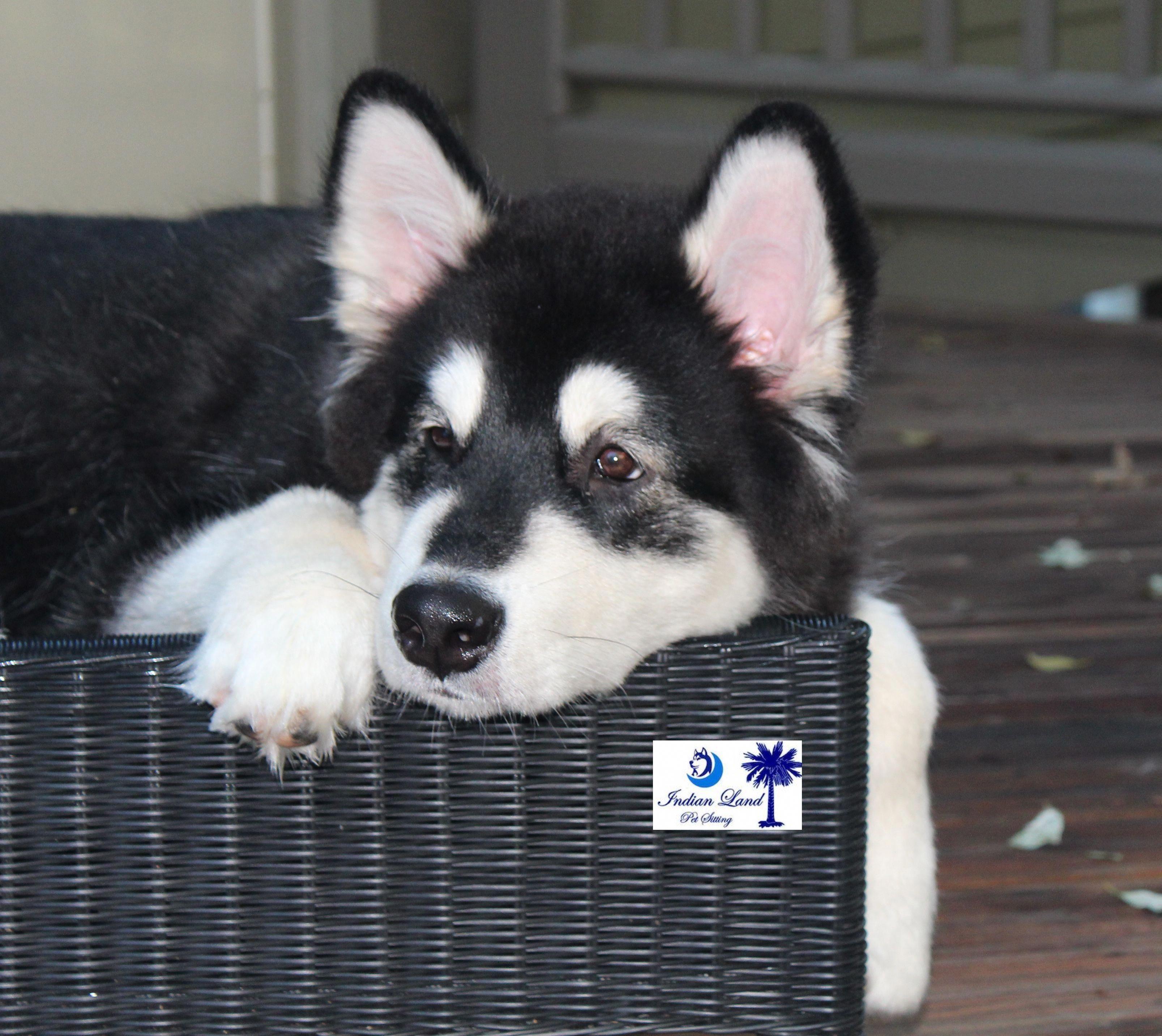 Siberian Husky Puppy Size Siberianhuskyloversjakarta Huskeypics