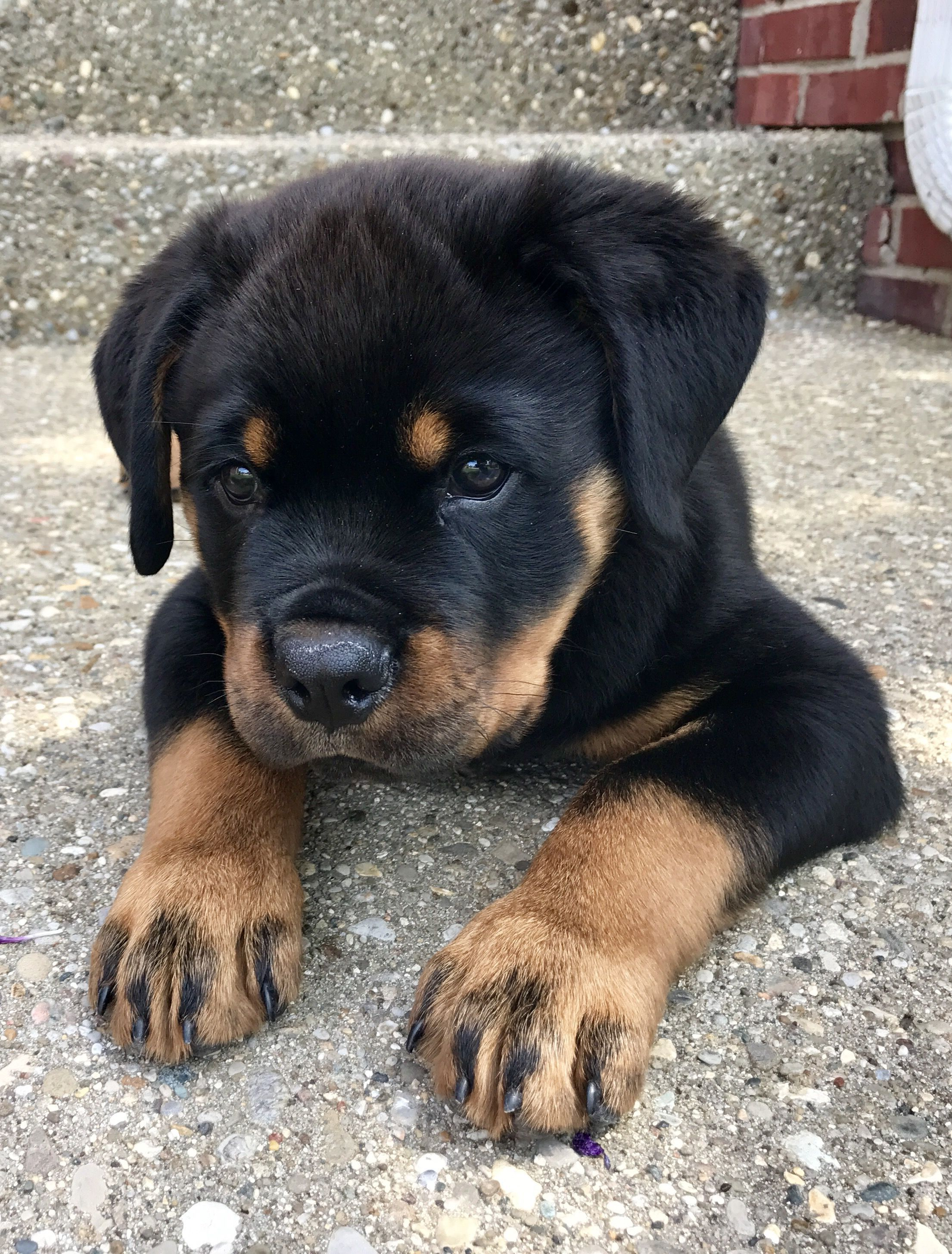 Rottweiler Loving Confident And Loyal Dog Breeds Rottweiler Puppies Rottweiler Dog
