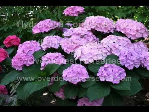 David Wilson visits Overdevest Nurseries, and explains why he likes Hydrangea Forever & Ever series, and why he recommends them for gardens across the north eastern United States.