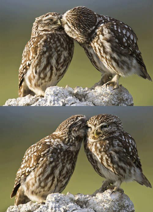 Two little owls sitting in a tree  K-I-S-S-I-N-G!