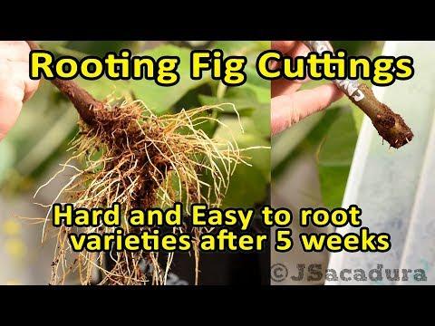 Rooting Fig Cuttings Easy And Hard To Root Varieties After 5 Weeks In Coco Coir Youtube Fig Fig Varieties Coir