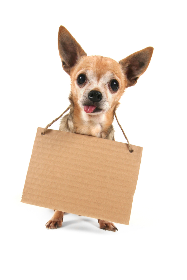 A Cute Chihuahua Holding A Homeless Or Will Work Sign In 2020