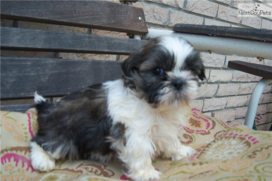 Pin By Kelly Schoonover On Dog Stuff Shih Tzu Shih Tzu Puppy Shih Tzu For Sale
