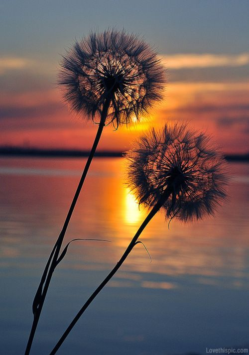 Dandelions  sunset water outdoors nature clouds sun