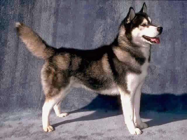 أقوي 10 كلاب في العالم Brown Siberian Husky Siberian Husky Dog Husky