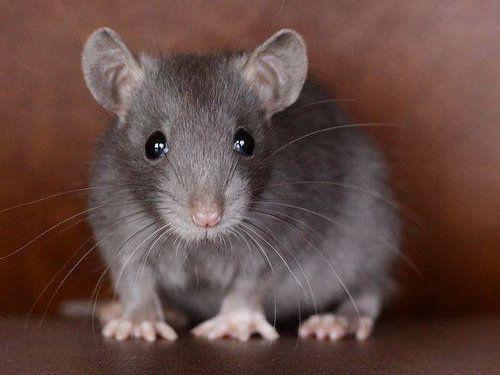 Http Ift Tt 2peh2j5 Pet Mice Cute Rats Pet Rats