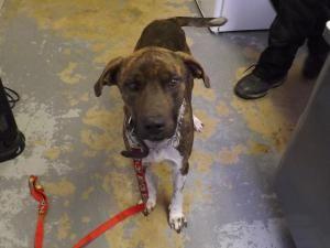 Adopt Silas Rescued On Dog Sounds Plott Hound Dog Pounds