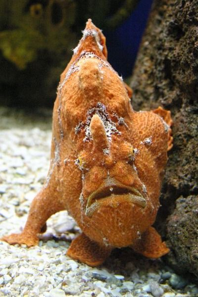 orange demon fish or frogfish beneath the waves mostly sea