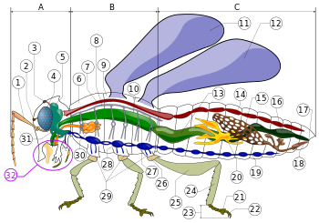 Insect morphology - Wikipedia, the free encyclopedia
