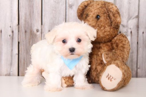 Maltese Puppy For Sale In Mount Vernon Oh Adn 28557 On