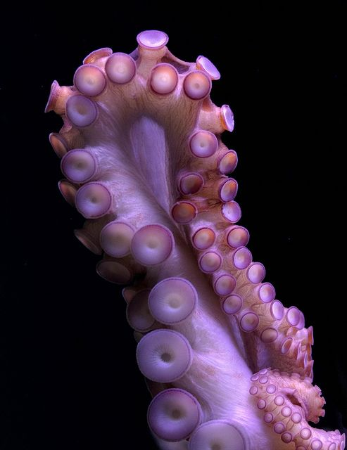 Octopus tentacle by nervous system, via Flickr