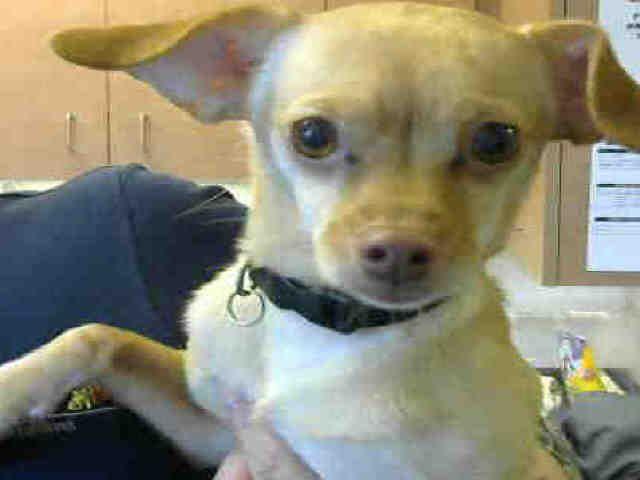 Chihuahua Dog For Adoption In Sacramento Ca Adn 475984 On