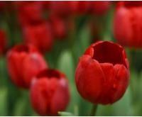 red tulipa rubra.jpg