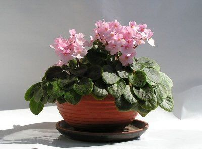 African violet plant with pink flowers house plants pinterest houseplant african violet plant with pink flowers mightylinksfo