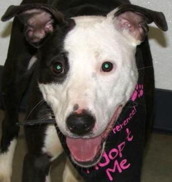 GRACIE stray on the smaller side 35 lbs. very friendly lots of energy.  Please spread the word for me so I can find a family that will love and cherish me.  I am available at the Richland County Dog Shelter in Mansfield, Ohio Email is richlandcountydogs@yahoo.com  Phone is 419 774-5892 or 5893 If anyone would like to help the shelter with my medical expenses you can donate at the following link: http://www.gofund.me/RichlandCountyDogs MORE ABOUT GRACIE Pet ID: 57 2/10