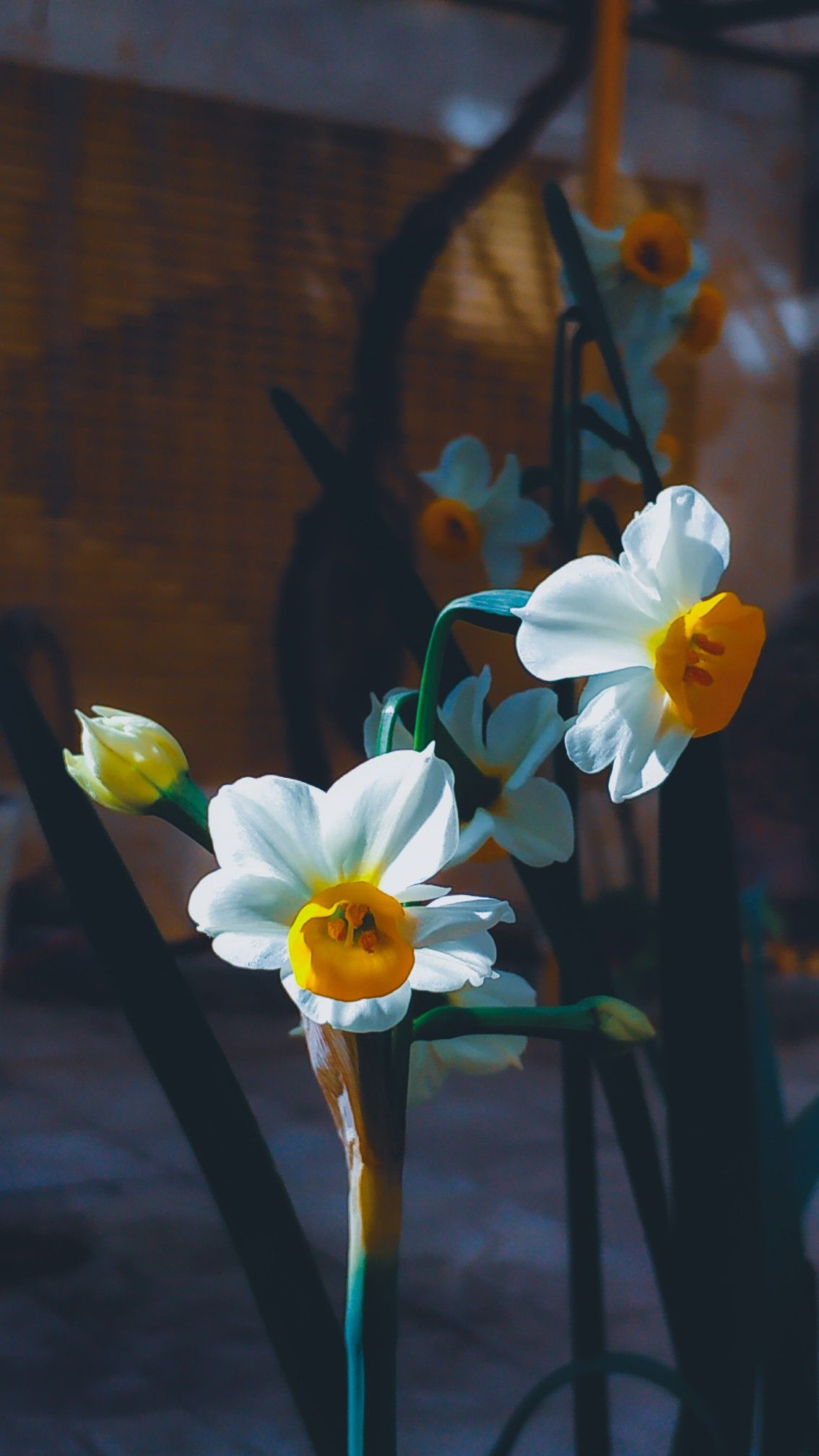 Narcissus flower Narcissus flower, Flowers photography
