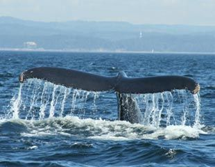 Les baleines à Tadoussac
