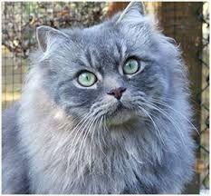 Bildergebnis Fur Britisch Langhaar Grau Katzen Rassen