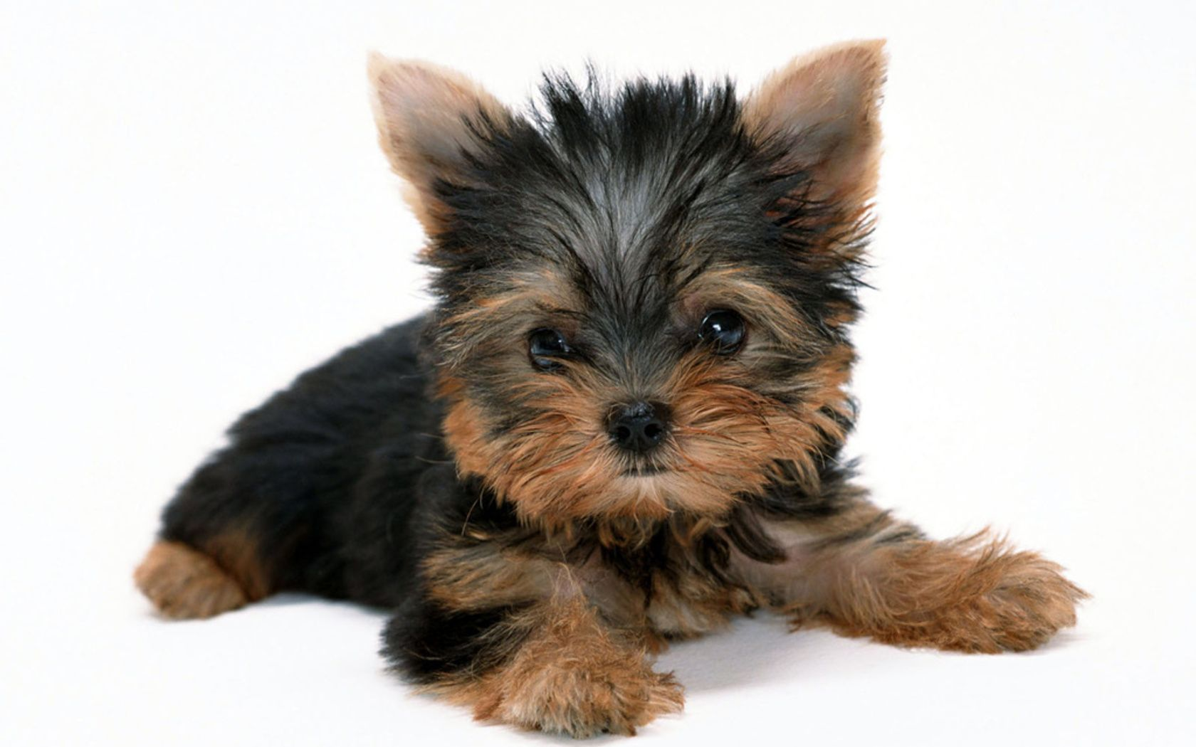 Solito Yorkie Dogs Yorkshire Terrier Puppies Yorkshire Terrier