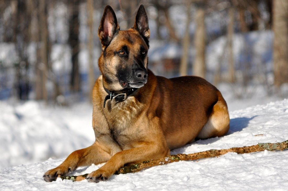 look at the doggy stance! Malinois, Malinois shepherd