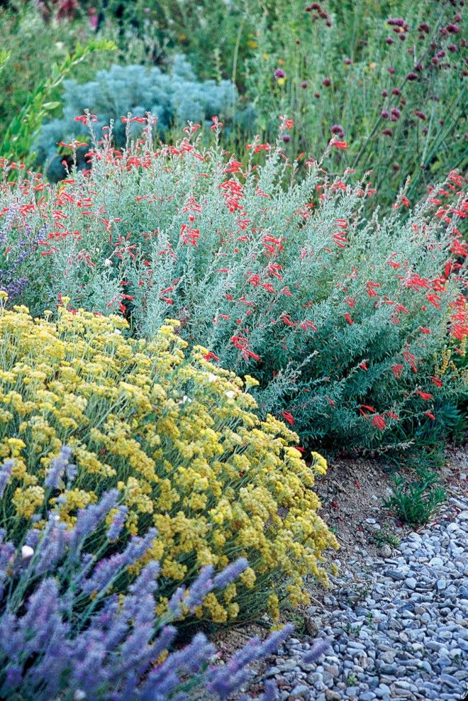 Two Californians in Olivier's summer dry garden: wild buckwheat (Eriogonum) and California fuchsia (Epilobium canum)