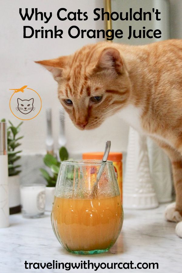 Why Cats Shouldn't Drink Orange Juice (With images
