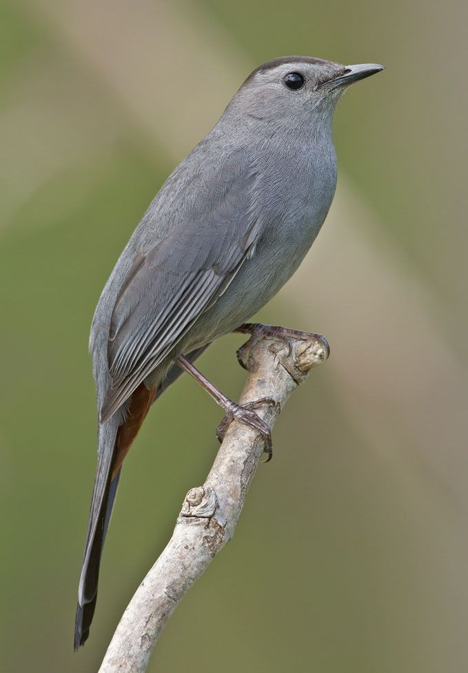 Bird That Sounds Like A Cat Meowing Uk