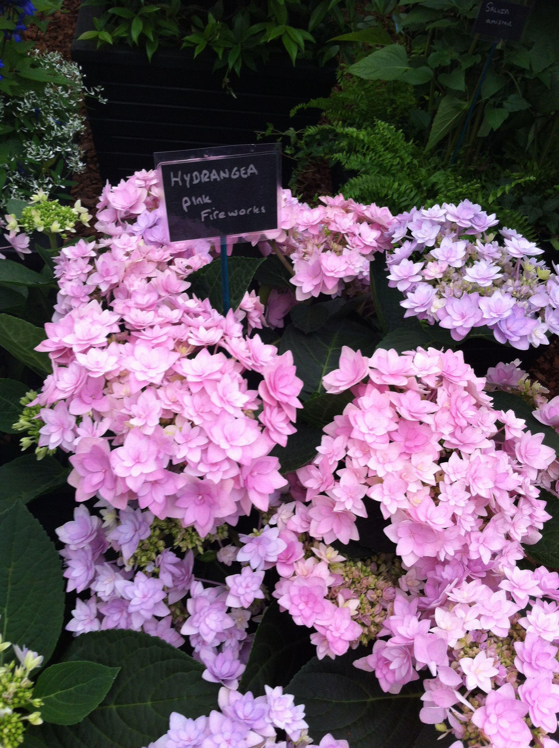 Hydrangea pink fireworks GartenpflanzenFeuerwerkHortensienVilla