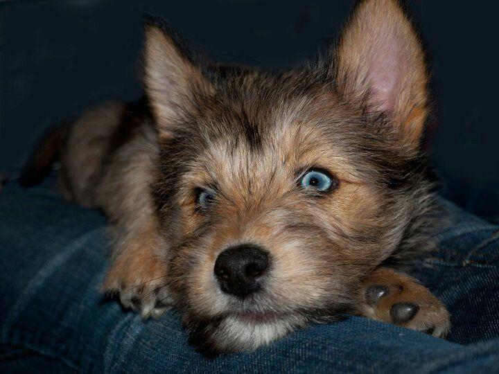 Husky Cross Terrier X Cutee Animals Cute Animals Animals