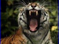 Tiger Roar Wallpaper 173 HD Wallpapers