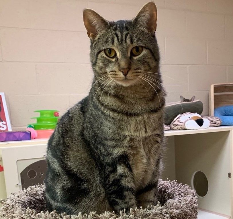 Young Male Domestic Short Hair Tabby Cat Mix At Friendly Feral Cat Rescue Kitten Adoption Feral Cats Tabby Cat