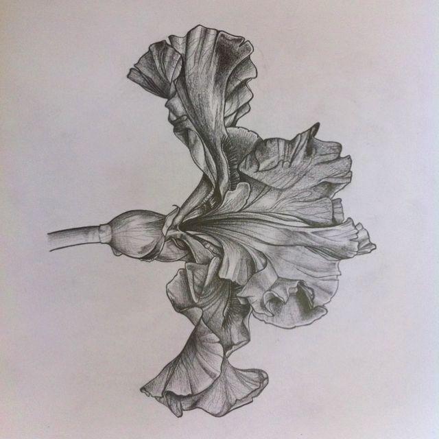 Iris Botanical Drawing Botanical Drawings Nature Drawing