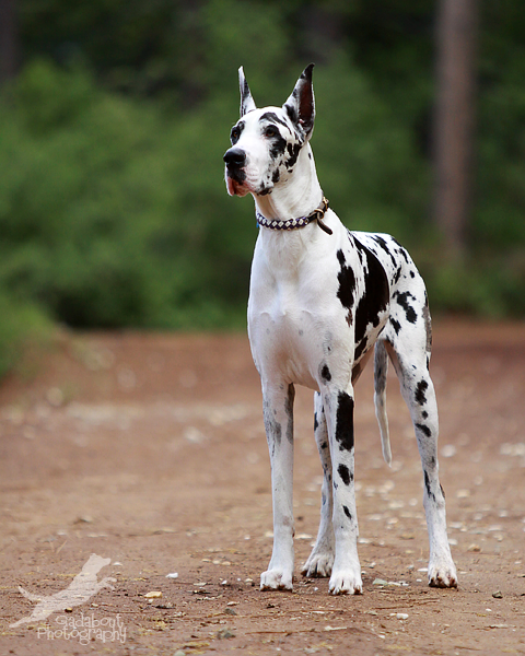 Serious Cow By Gadabout Photography On Deviantart Dane Dog Great Dane Dogs Harlequin Great Danes