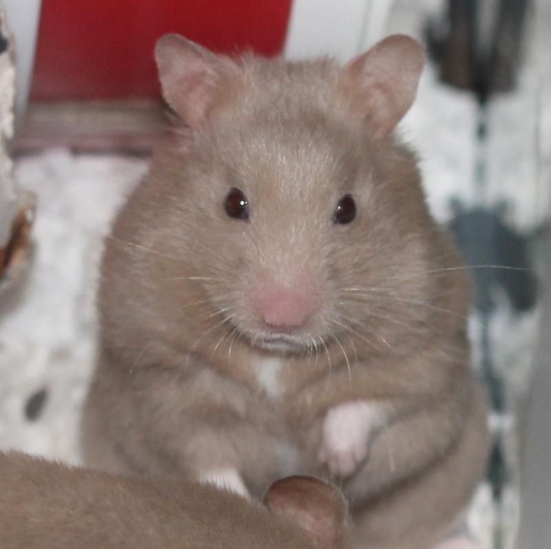 Meet Paula A Petfinder Adoptable Hamster Hamster Budd Lake NJ - Hamster bartenders cutest thing youve ever seen
