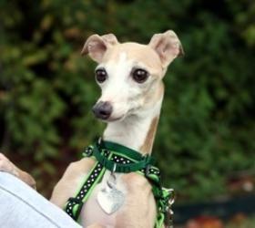 Jack Eva Www Katefriends Org Greyhounds Adoption イタグレ