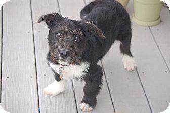 Maple Grove Mn Scottie Scottish Terrier Westie West Highland